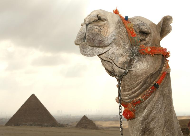 Camel in Egypt with Giza Pyramid